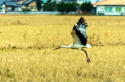 コウノトリが飛来する与謝野の水田