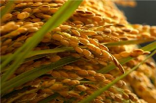 自然循環のお米京の豆っこ米