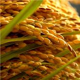京の豆っこ米