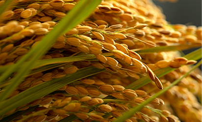 与謝野の米は多数の受賞歴