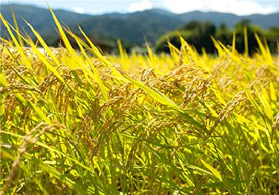 有機質肥料だから稲が黄金色に輝く