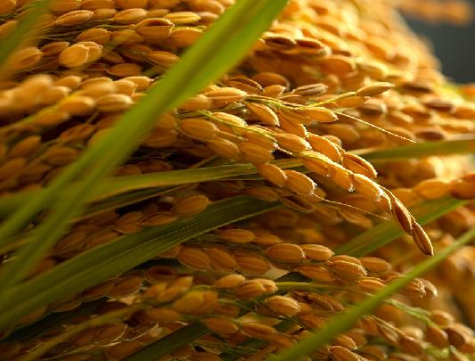 黄金色の稲 京の豆っこ米
